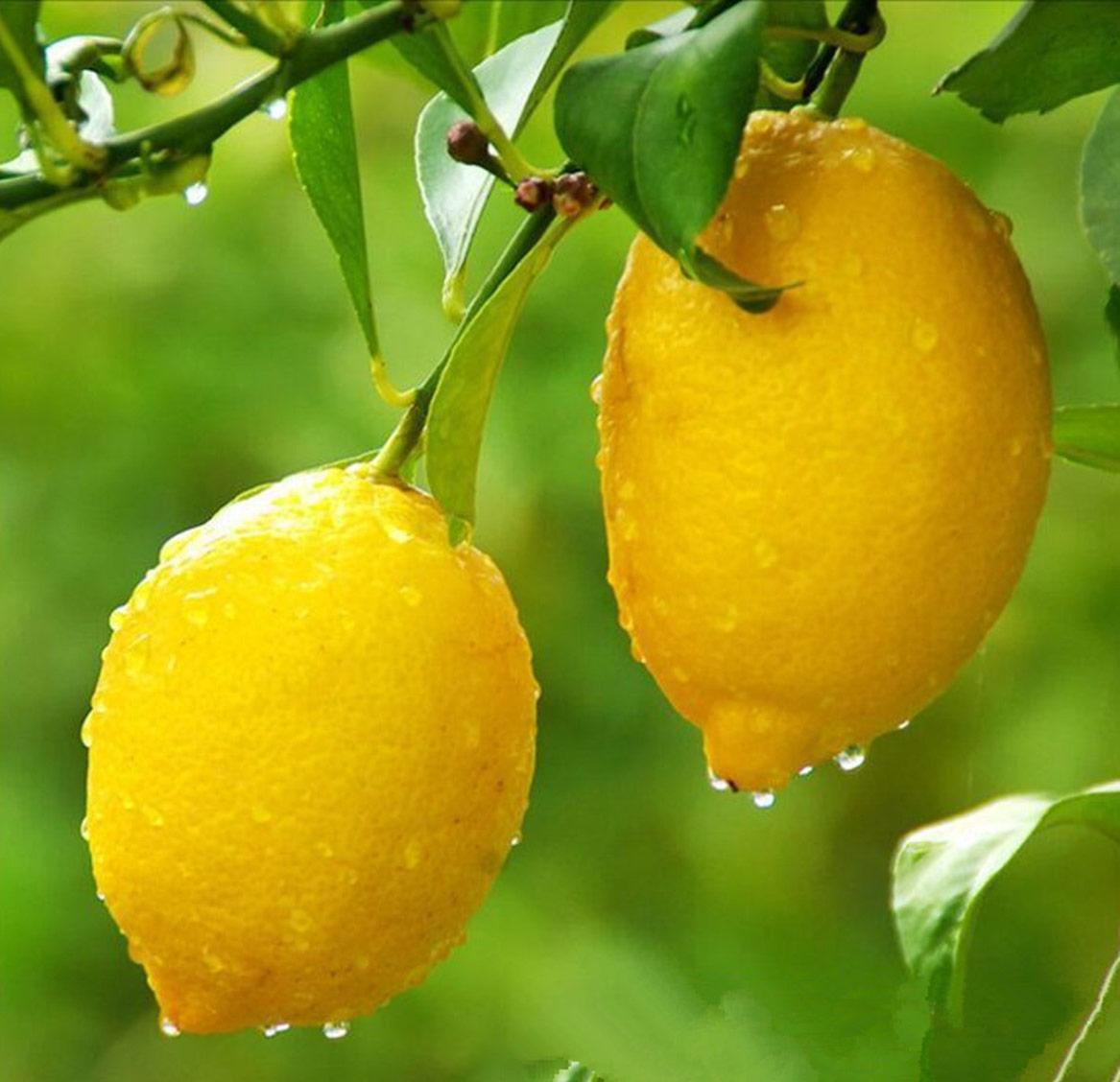 Лимон - польза и вред популярного цитруса