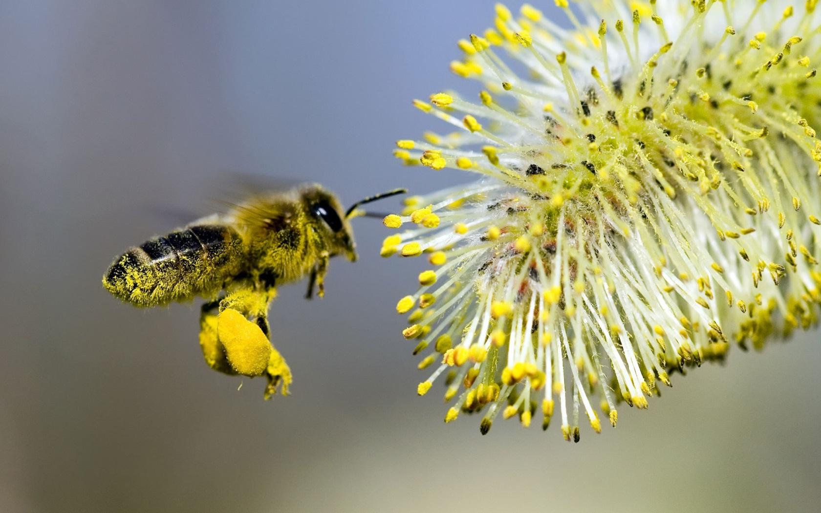 Пчелиная пыльца - польза и вред для человека