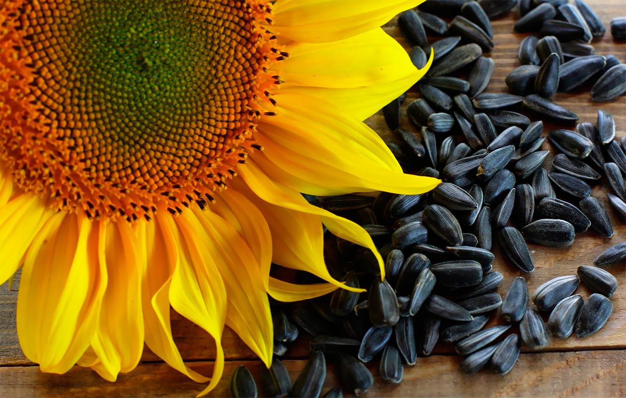 Семечки подсолнечника - польза и вред любимого продукта